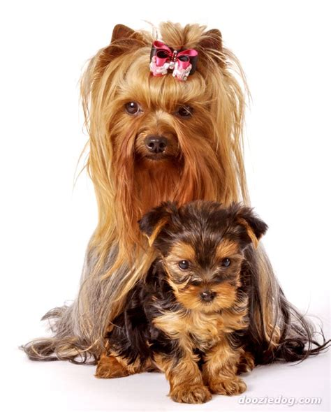 yorkshire terrier cachorro blog