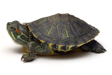 turtleland red ear slider turtle great for the beginner turtle lover