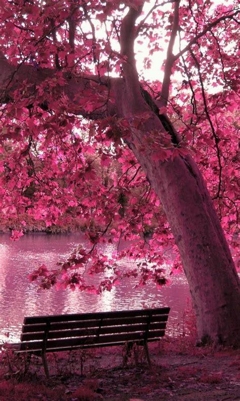 wallpaper cherry blossom nature