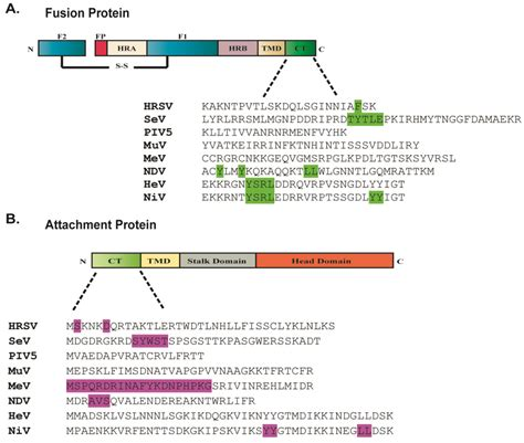 f protein ndv viruses free text paramyxovirus glycoprotein