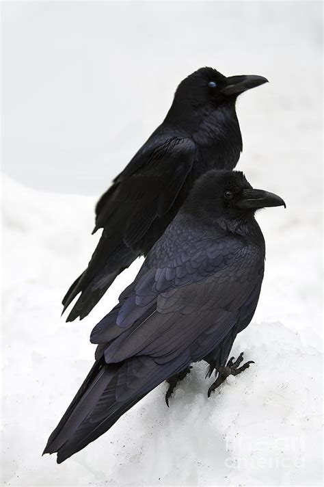 yosemite ravens photograph by greg clure