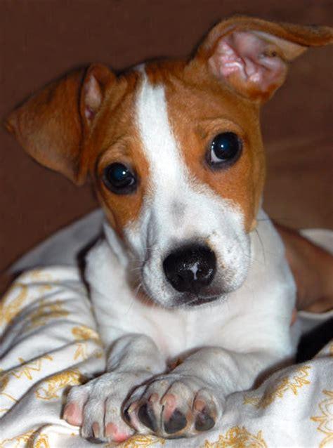 jack russell terrier imagenes informacion perros e imagenes n 186 17 jack russell terrier