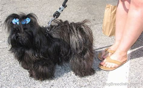 shih tzu imperial and princess type imperial breed information and pictures