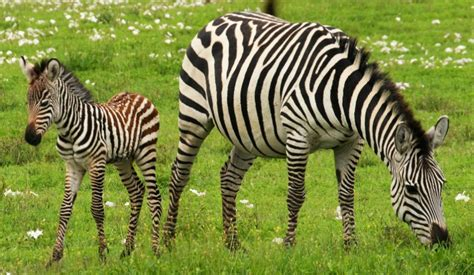 zebra printable information zebras facts stripes diet habitat pictures