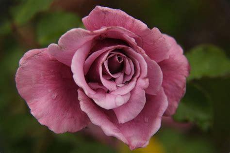 rosa color rosa la enciclopedia libre