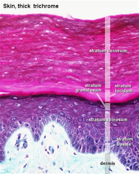 tick skin foundations histology epithelia and skin embryology