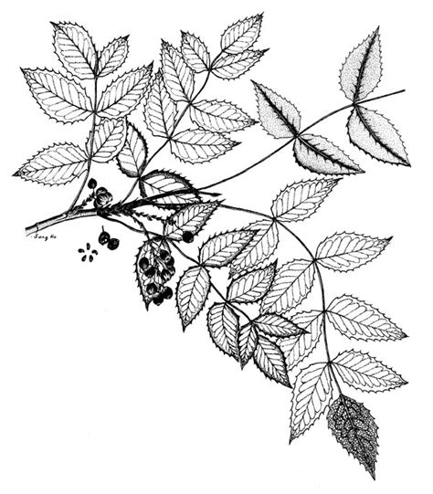 coloring pages of neem tree neem tree flower a bitter taste stock photo coloring