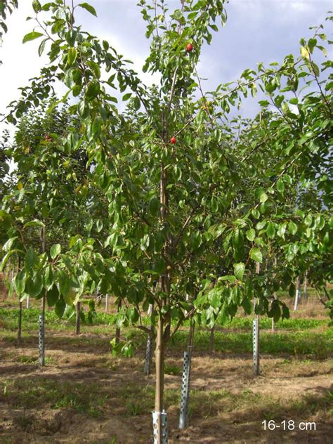 Pflaume Königin 2545 k 195 182 nigin viktoria pflaume hochstamm mr pflanzenvertrieb