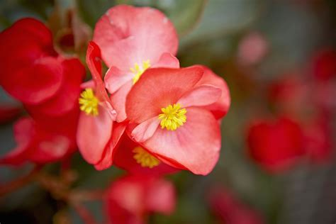 Pink Begonia Flowercrown begonia flower family picture gallery
