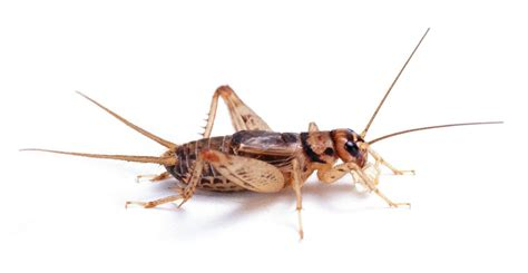 house cricket www pixshark com images galleries with a bite