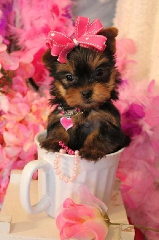 yorkie lifespan teacup yorkie yorkie breed information teacup yorkie care about yorkie breed