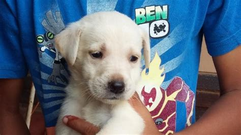 golden retriever puppies for sale in bakersfield ca labrador puppies for sale durban photo