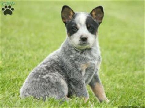 mini australian cattle puppies for sale miniature queensland heeler poodles breeds picture