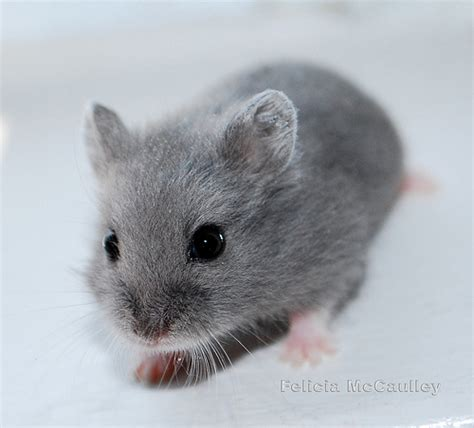 blue hamster blue cbell s hamster felicia mccaulley flickr