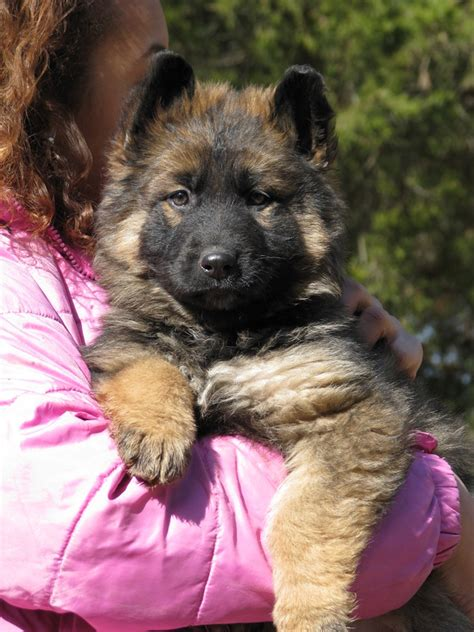 german hair puppy coat german shepherd puppy for sale coat german shepherd puppies for sale
