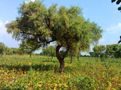 tree in khejadi tree experience the wilderness