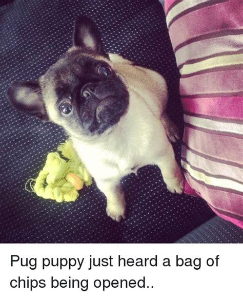 pug puppy gets stuck in swing breaking news live pug puppy gets stuck in swing tm exclusive rt if u crid meme