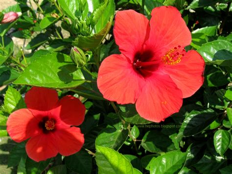 another amateur photographer red hibiscus flowers