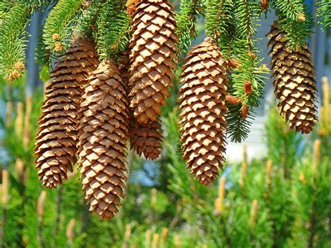pine cone tree golden pine cones art prints pine trees baslee troutman by