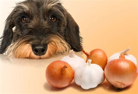 is garlic ok for dogs 10 foods your should never eat