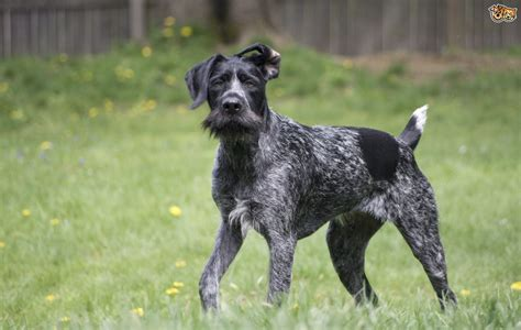 german for german wirehaired pointer breed information buying advice photos and facts
