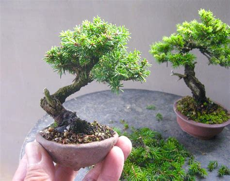 bonsai masterclass all you 1850760934 tiny bonsai master bonsai bark