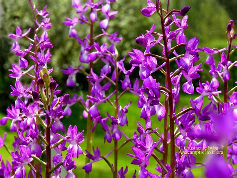 Easy Plants Albiflora Be Laxiflora Albiflora Is A Division Of