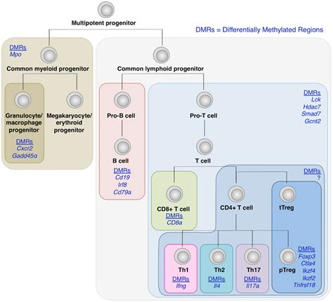 frontiers transcriptional regulation of mononuclear frontiers molecular determinants of regulatory t cell