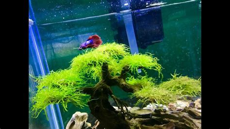 aquascape betta amazing betta fish tank aquascape bonsai driftwood youtube
