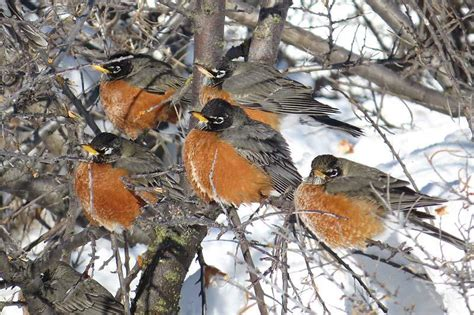 journey north american robin migration update spring 2015