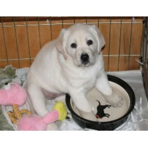 lab puppies for sale in maryland labrador retriever puppies for sale maryland md design bild