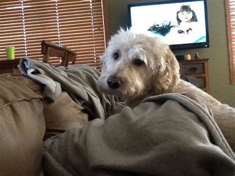 goldendoodle puppy mill rescue goldendoodle info photo 35