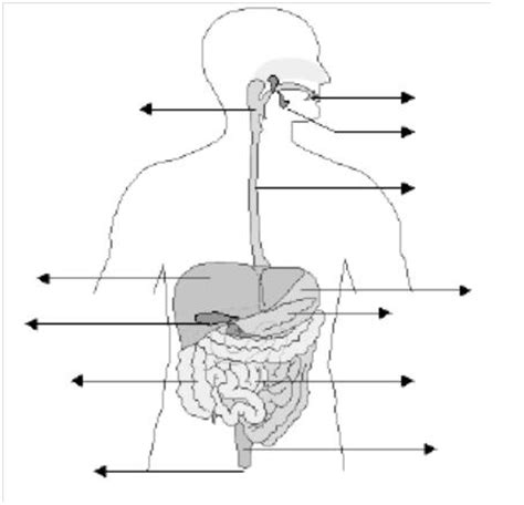 imagenes del sistema digestivo dibujo dibujo del sistema digestivo sin nombres imagui