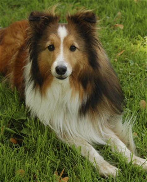 types of sheep dogs trivia about shetland sheepdogs popsugar pets