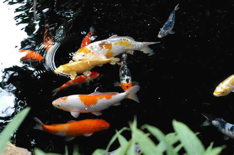 live wallpaper for pc koi japanese koi fish desktop wallpaper koi hd live wallpaper