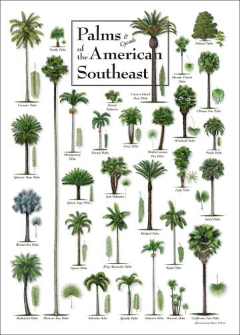 botanical trees tree types 1 landscaping pinterest palm tree identification chart journey pinterest