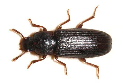 grain beetles in bedroom red flour beetle in bedroom memsaheb net