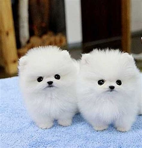 teacup husky pomeranian puppies 1000 images about pomerarian on husky