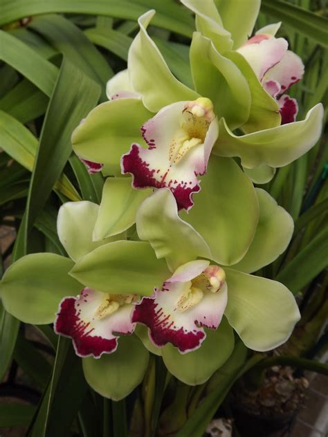 my orchids journal cymbidium orchid cymbiflor montage x valley zenith discus