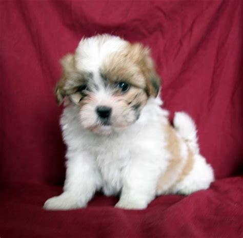 teddy shih tzu bichon puppies bichon frise puppies in minnesota experienced breeders of bichon frise shihtzu puppies