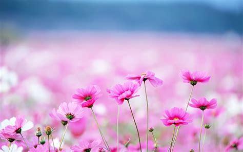 cute hd wallpaper of flowers hd 1280x800 cute pink flowers desktop wallpapers backgrounds