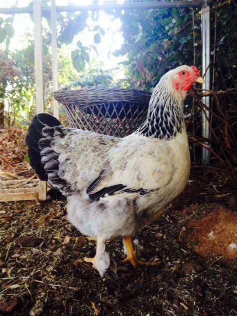 friendliest bantam chicken breeds 100 best ideas about hen breeds on indians buff orpington and breeds of chickens