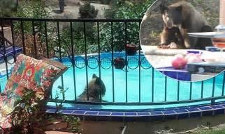 bear caught   swim  california familys backyard