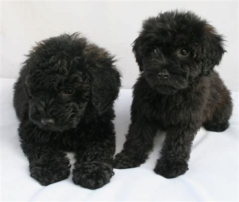 mini poodle weight poodle birth weight dogs in our photo