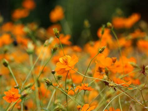 Cosmos Size 41 autumn flowers grass in the cosmos wallpaper 41 view