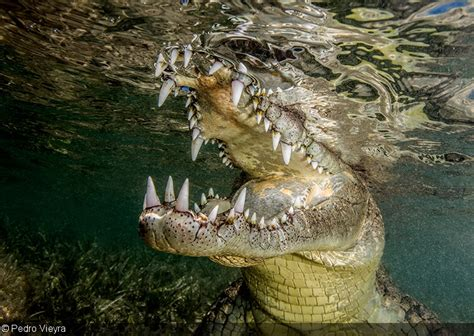 Crocodile Pedro Brown photographer of the week pedro vieyra
