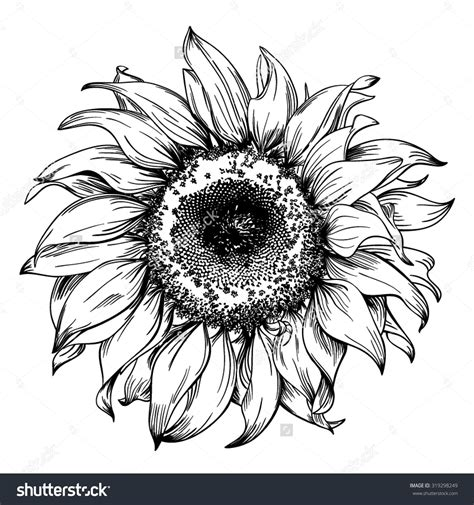 pen ink tattoo realistic vintage sunflower pen and ink drawing