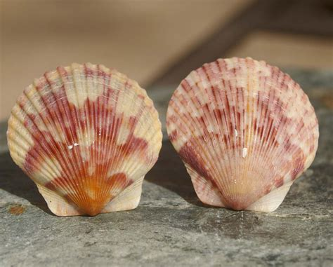 Shell Cabinet Knobs by Knobs Shell Knobs Cabinet Knobs Scallop Shell Cabinet Knobs