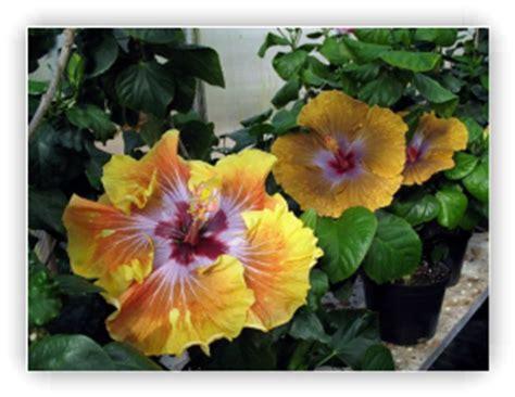 les soins generaux pour les hibiscus