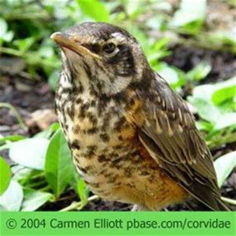 baby robin hatching american robin babies afoot birdnote